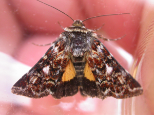 Beautiful Yellow Underwing