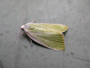 Cream-bordered Green Pea