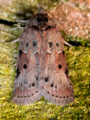 Variable moth 3