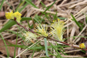 Creeping Willow