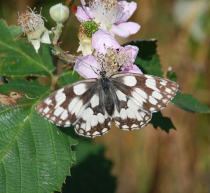 Marbeled White Butterfly