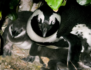 African Penguin and chick