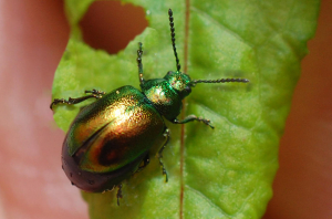 Pregnant Green Dock Beetle
