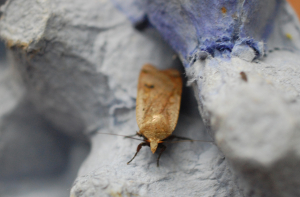 Chestnut moth?