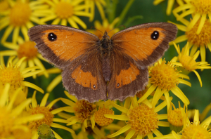 Hedge Brown Butterfly (female)
