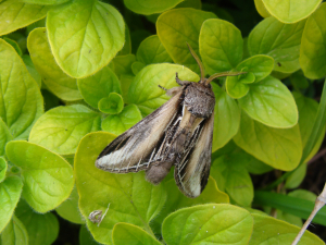 Swallow Prominent