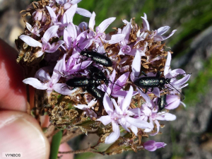 Black beetles
