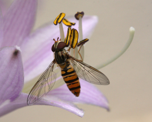 Marmalde hoverfly