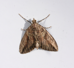 Cypress Carpet - Thera cupressata possible