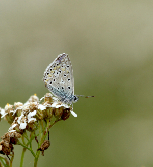 Adonis Blue possible?