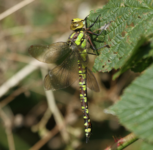 Southern Hawker female