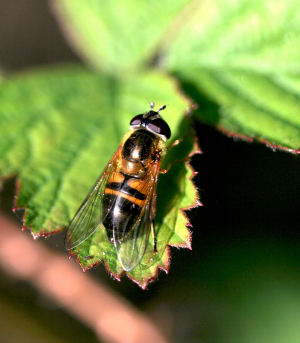 A kind of hoverfly
