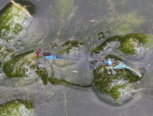 Unidentified Damsel flies mating