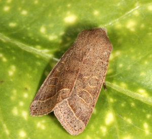 Common Quaker