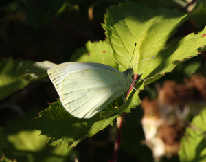 Wood White possibly