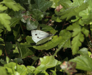 Small or Green-veined White