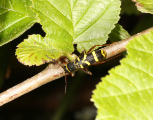 Wasp Beetle - Clytra arietis