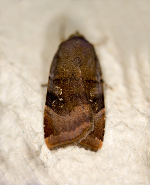 Lesser Broad-bordered Yellow Underwing/Langmaid's Yellow Underwing