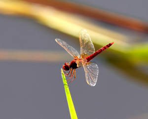 Common Scarlet Dragonfly