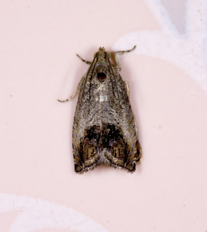 Unidentified Micro-moth