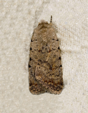 Beaded Chestnut Moth?