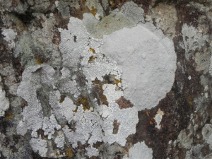 Lichens at the Falls  Bushman's Nek 166