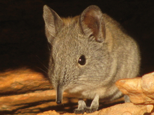cape rock elephant shrew