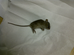 House Mouse ?