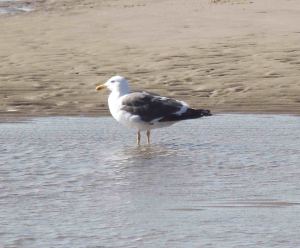Lesser Black-Backed Gull 1