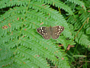 Speckled Wood?