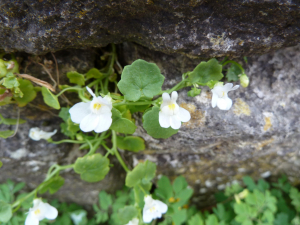 White ivy-leaved toadflax