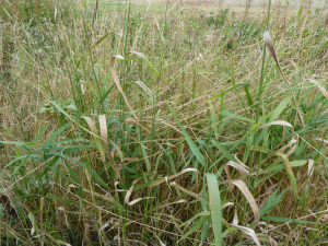 Reed canary grass?