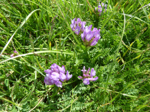 Purple milk-vetch