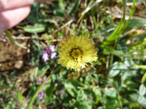 Frilly Mouse-ear Hawkweed