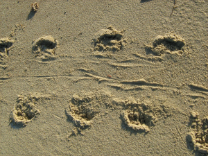 grey seal tracks