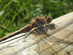 Common darter