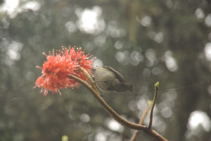 sunbird feeding on Greyia radlkoferi