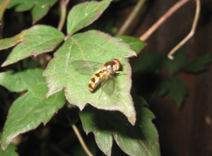 Unknown hoverfly yellow black triangular markings