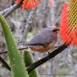 A red faced Speckled Mousebird