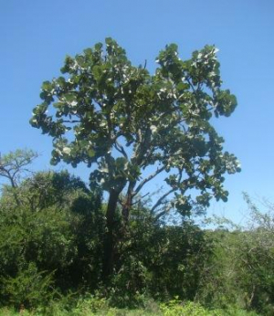 Broad-Leaved Coral Tree