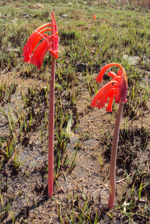 Cyrtanthus in burned veld.