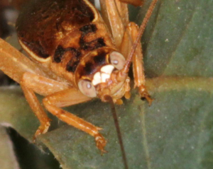 White Face Cricket
