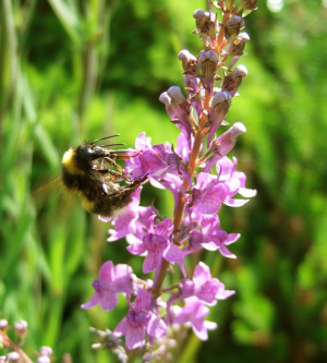 Purple Toadflax with Bumblebee