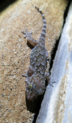 Juvenile turner's tubercled gecko