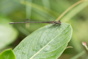 Damselfly 4web 723926
