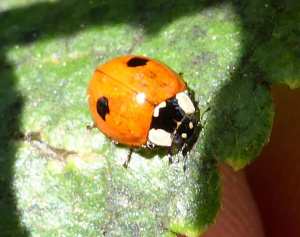 Double-spotted ladybird