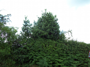 Holly used for boundary