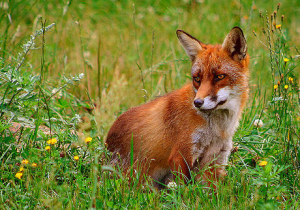 Red Fox - photo EOL