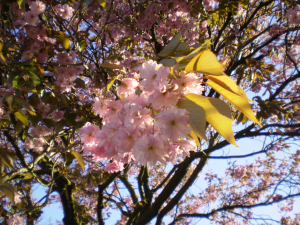 the blossom tree in my garden, cherry i think