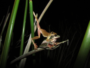 Frogs of the Southern Cape